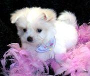 милый Мальтийский  щенок  для продажи