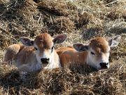 Куплю КРС молодняк. Московская мясная компания закупает молодняк КРС.