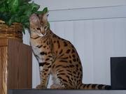 Хорошо обученный Зарегистрированные Саванна котята