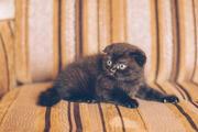 Продается шотландский вислоухий котенок