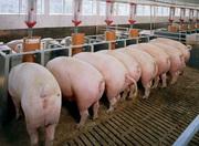 Свиньи в живом весе 80 - 120 кг