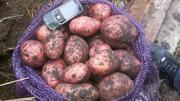 Картофель оптом без посредников по отличным ценам.