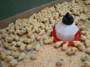Цыплята бройлеров КОББ-500.